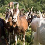 Il capraio e le capre selvatiche - Esopo