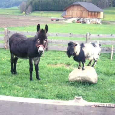 La capra e l'asino - Esopo