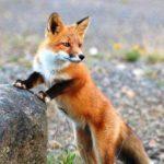 La volpe dalla coda mozza - Esopo