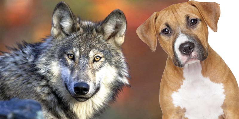 Il lupo e il cane - Fedro