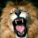 Il leone innamorato e il contadino - Esopo