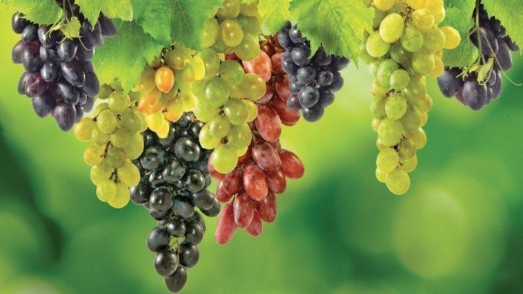 Il-ragno-e-il-grappolo-d'uva-Leonardo-da-Vinci
