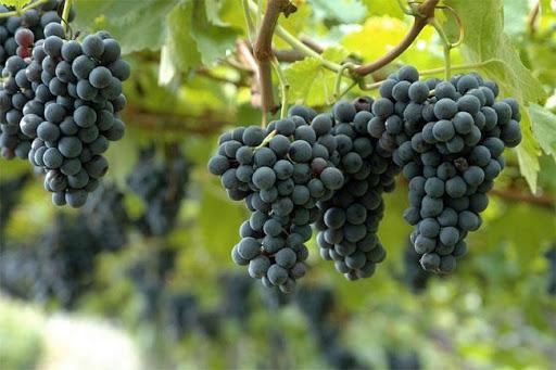 La-volpe-e-l'uva