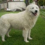 Il-cane-fedele-Fedro