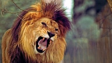 Il-leone-invecchiato-e-la-volpe-Esopo