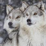 ll-lupo-bianco-e-il-lupo-nero-racconto-indiani-d'America