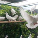 Il-nibbio-e-le-colombe-Fedro